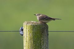 Thrush sitting on a pole Stock Image