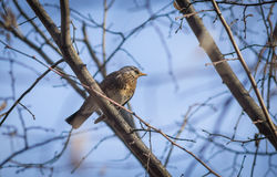Thrush sitting on the tree. Royalty Free Stock Photography