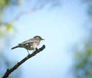 Thrush sitting on a tree branch in the forest Royalty Free Stock Photo