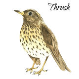 The thrush stand on white background Royalty Free Stock Photography