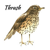 The thrush stand on white background Royalty Free Stock Image