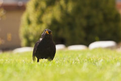 Thrush. In a threatening position on the blurry background Stock Photography
