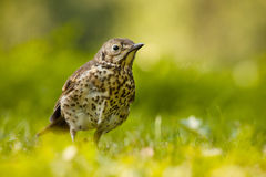 Thrush Royalty Free Stock Image