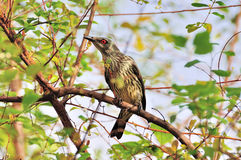 Thrush on tree branch (Turdus Obscurus) Stock Photos