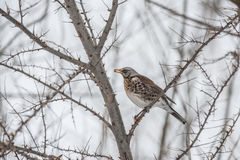 Thrush Royalty Free Stock Photos