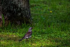 Thrush in a tree in the forest. Is close stock images