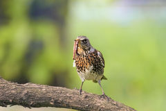 Thrush in a tree, holding in its beak a long worm Stock Images