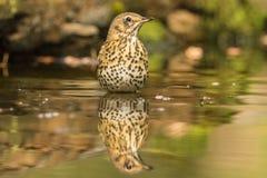 Thrush, Turdidae. A songbird. Turdidae, the Thrush is a songbird royalty free stock photography
