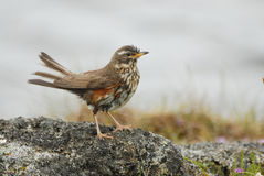 Thrush Turdus iliacus in Hverfjall area, Iceland Royalty Free Stock Photo