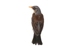 Thrush Royalty Free Stock Photography