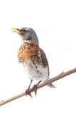 Thrush Royalty Free Stock Images