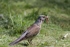 Thrush turdus pilaris Stock Photo