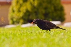 Thrush. Who are looking for building material for their nest Royalty Free Stock Images