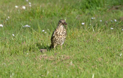 Thrush with worm. Royalty Free Stock Photos