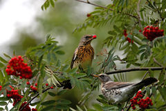 Thrushes Stock Photo