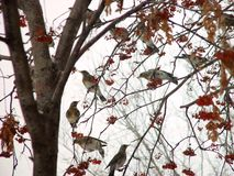 Thrushes Fieldfare eating rowan tree. Photo close-up, with warm colors Royalty Free Stock Image