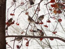 Thrushes Fieldfare eating rowan tree. Photo close-up, with warm colors Stock Photos