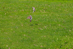 Thrushes are fighting among themselves. Spring Meadow . Thrushes are fighting among themselves Stock Image