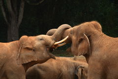 The Thrust. A tusker thrusting its tusk into another elephant Royalty Free Stock Photo