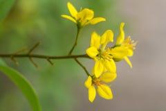 Thryallis Glauca Royaltyfria Foton