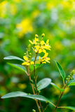 Thryallis glauca, Galphimia, Gold Shower, yellow flower natural Stock Photos