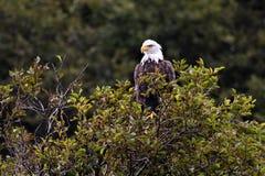 Heraldic animal of the USA, bald eagle, Alaska royalty free stock images
