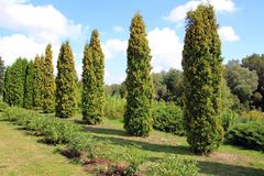 Thuja à feuilles persistantes d'arbre photographie stock