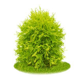 Thuja Royalty Free Stock Photos