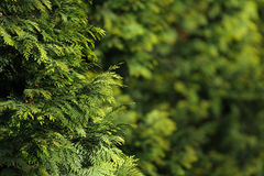 Thuja Royalty Free Stock Photography