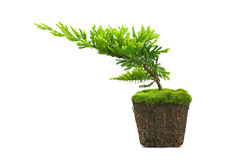 Thuja. With dirt isolated on white Royalty Free Stock Images
