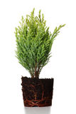 Thuja Images stock