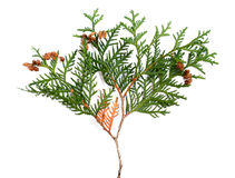 Thuja Stock Photos