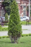 Thuja Photo stock