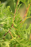 Thuja. Green thuja in the garden stock photo