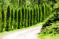 Thuja alley. And road in summer Royalty Free Stock Photography