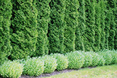 Thuja. Arbor vitae, evergreen tree royalty free stock image