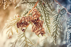 Thuja. arborvitae cones. Arborvitae cones covered with hoarfrost Royalty Free Stock Photo