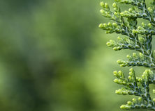 Free Thuja Background Royalty Free Stock Images - 19587039