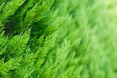 Thuja background. A lot of branches of a thuja Stock Photo