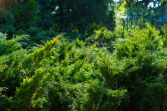 Thuja background. Stock Photo