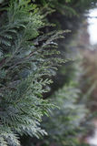 Thuja background Stock Photography