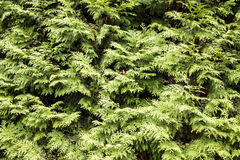 Thuja Background Stock Images