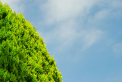 Thuja on blue sky Royalty Free Stock Photos