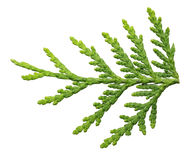 Thuja branch close up isolated Royalty Free Stock Image