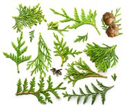 Thuja branch close up Royalty Free Stock Images