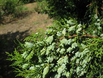Thuja branch with cones. Green thuja branch with cones taken closeup Royalty Free Stock Images