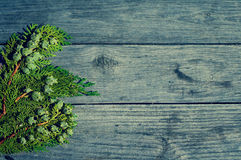 Thuja branch with fruits. Royalty Free Stock Photos