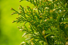 Thuja. Branch on green background Stock Images
