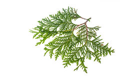 Thuja branch isolated Isolated on white background. Studio Photo Stock Image