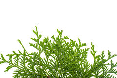 Thuja branch isolated Isolated on white background. Studio Photo Royalty Free Stock Images